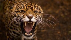 The Fierce Jaguar wallpaper