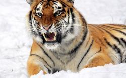 Fierce Tiger Wallpaper 40406 2560x1600 px