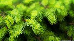 Download Christmas Fir Tree 1024x768 ...