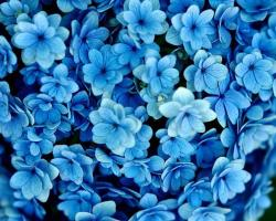 Pretty Blue Flowers Images