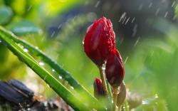 Flower buds rain