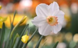 Flower Daffodil Glare