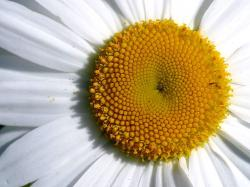 File:Closeup of a daisy flower.jpg
