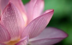 Lotus flower macro