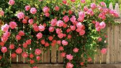 ... Pink roses growing over the fence wallpaper 1920x1080 ...