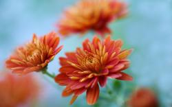 Chrysanthemums Flowers Orange