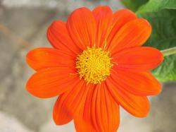 Orange petal flower HQ WALLPAPER - (#125127)