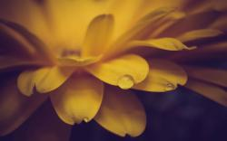 Flower Petals Yellow Drops