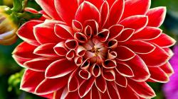 Red Flower Backgrounds