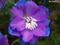 ... purple,blue,flower,nature