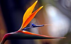 Related For Flower Tropical Bird of Paradise Strelitzia Africa. Bird of Paradise Flower