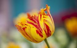 Flower Tulip Spring Yellow Orange