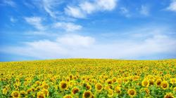 sunflower-field-flower-wallpaper-1920x1080-2489 (Flower Wallpapers in 1920