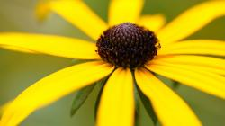 Wallpaper flower floral rudbeckia yellow Flower HD Wallpaper 1920x1080 px