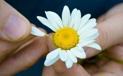 Flowers Chamomile Petals Hands