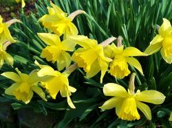 Download Daffodils, Flowers, Flowerbed, Spring, Garden, Mood Wallpaper, Background