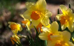 Flowers Daffodils Yellow Spring Sunny
