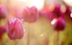 Tulips Flowers Pink Field Macro Nature