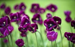 Flowers Mauve Tulips Nature