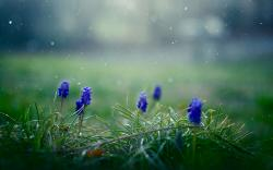 Flowers Muscari Drops Macro Nature