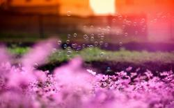 Flowers Pink Bubbles Sun Nature