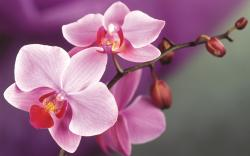 Pink orchids macro