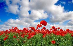 flower wallpapers poppy