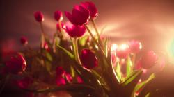 Flowers Red Awesome Tulips Photo