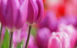 Flowers Tulips Pink Spring