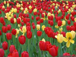 Wallpaper: Red yellow Tulips on park ave