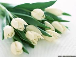 Wallpaper: White Tulips flowers