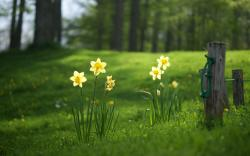 Grass Forest Flowers Yellow Daffodils
