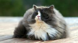Fluffy Cat HTC One Wallpaper One Million Wallpapers