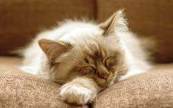 Fluffy cat sleeping