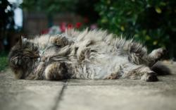 Fluffy fuzzy cat Wallpapers Pictures Photos Images. «