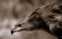Flying eagle monochrome