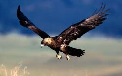 Flying Hawk Wallpaper