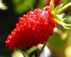 red food fruit strawberries wild strawberry macro berries berry