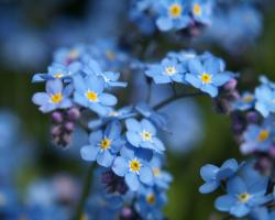 Forget me not Flower Wallpaper9