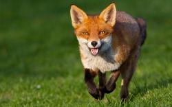 ... tumblr_miktxzI8MN1rtzgg3o1_1280 Fox-Running ...