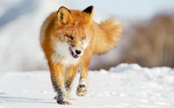 Fox Res: 1920x1200 / Size:233kb. Views: 147663