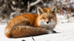 ... Fox Wallpaper HD ...