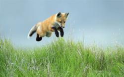 Fox jump