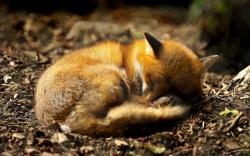 Fox puppy sleeping