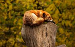 Fox sleep on tree stub