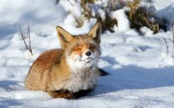 Fox sunbath