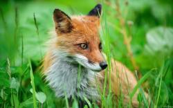 Fox Wallpaper 15