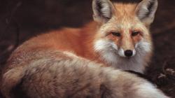 Fox Wallpaper 1920x1080px