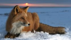 Fox Res: 1920x1080 HD / Size:203kb. Views: 14769