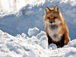 Fox Wallpaper 12